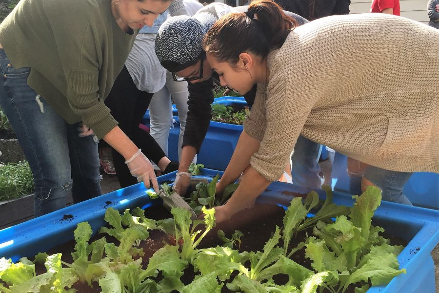 Harvest Bin Lettuce